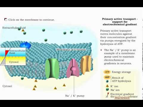 Cell Membrane - Passive and Active Transport - (diffusion , osmosis , active transport )
