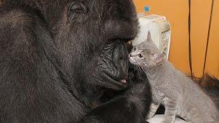 Gorila adoptó 2 gatitos en su cumpleaños (Video)