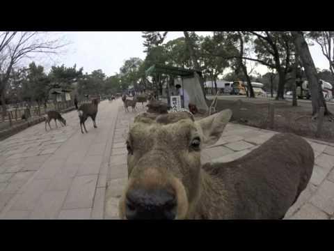The Sika Deer of Nara Park, Japan