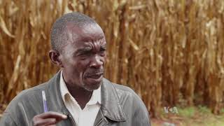 Ugandan Farmers Use Mobile Application to Fight Fall Armyworm - VOAVIDEO
