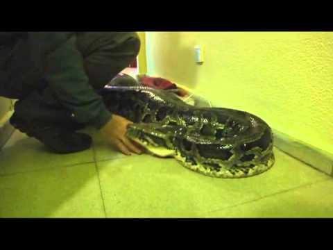 Tundra, la serpiente de 120 kilos que vive y 'pasea' por el barrio de El Cerillero en Gijon