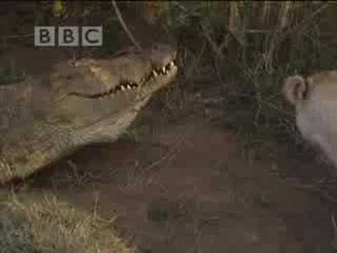 Lion and crocodile fight