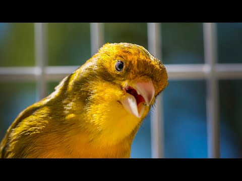 CANARY SINGING BEST VIDEO TO TRAINING CANARIES  HD
