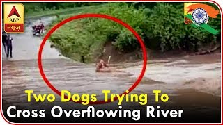 Dhamtari: WATCH two DAREDEVIL dogs trying to cross overflowing river - ABPNEWSTV