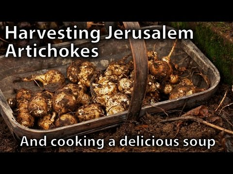 Harvesting our Jerusalem Artichokes (Sunchokes) and Cooking a Hearty Soup