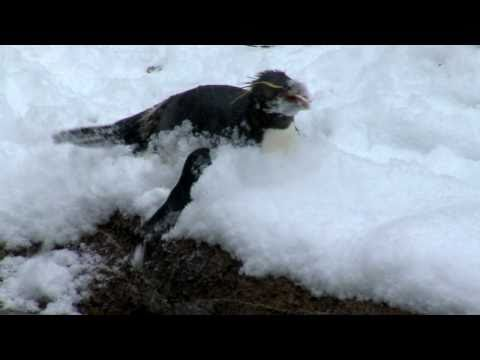 Rockhopper Penguins Play in the Snow-Cincinnati Zoo