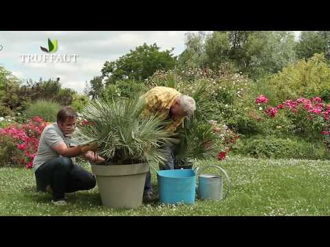 Related video for Comment planter un palmier en pot