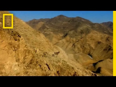 Watch Rare Wild Sheep Run Up Steep Mountainside With Ease | National Geographic