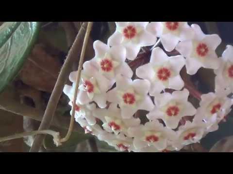 Flor de cera, Hoya carnosa, Plantas ornamentais, jardinagem,