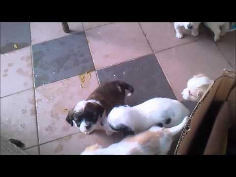 Μικρά σκυλάκια παίζουν