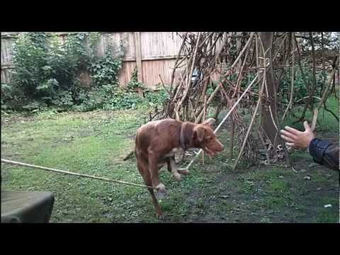 Amazing Acrobatic Dog - Training
