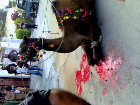 Cow Qurbani 2009 Farhan Qurbani Part Iii - VidoEmo ...