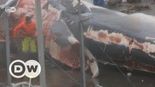 Hunting endangered fin whales in Iceland | DW English - DEUTSCHEWELLEENGLISH