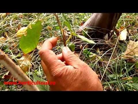 www.horticultorul.ro Altoirea pomilor fructiferi Metoda Chip Budding