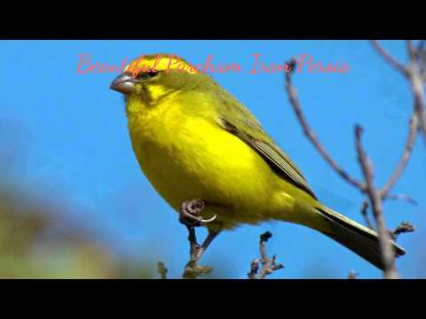 Carnary Singing آواز خواندن  قناری پرنده آواز Canary Bird Song  Beautiful Parcham Iran Persia