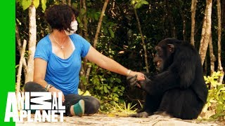 Ponso The 'World's Loneliest Chimp' Befriends Chimp Expert Estelle Raballand  | Dodo Heroes - ANIMALPLANETTV