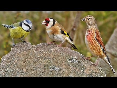 Garden Birds at Greytone Rock - Bullfinch, Goldfinch. Robin, Linnet, Blue Tit