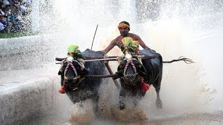 Buffalo race Kambala organised in Thiruvail - TIMESOFINDIACHANNEL