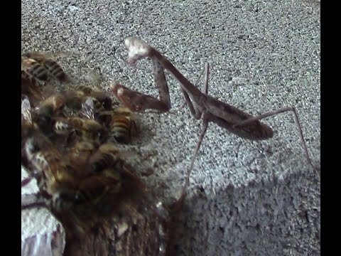 Honey bee is riding on the praying mantis - bee predator.