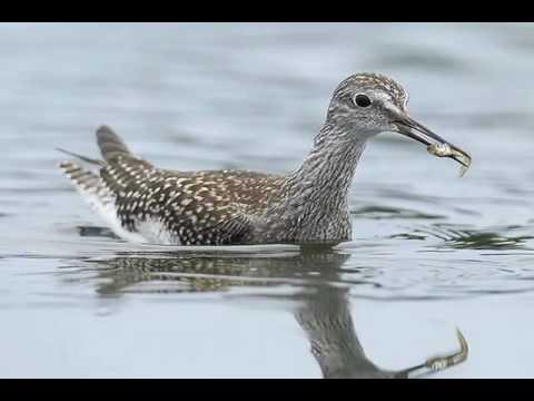 Identifying Shorebirds