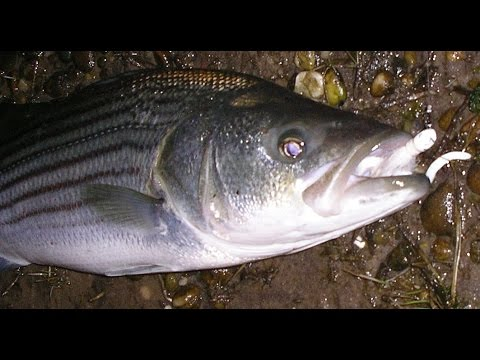 Striped Bass Fishing Tips - Bucktails in Fast Water