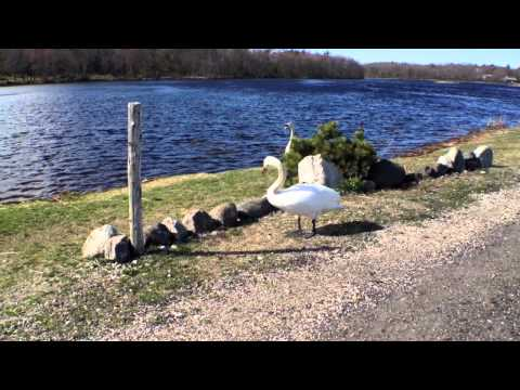 Swans | Eel Pond Rye Beach New Hampshire
