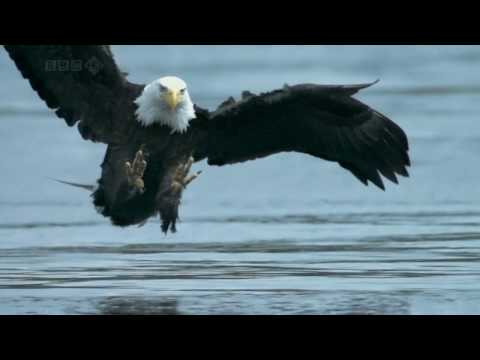 Bald Eagle catches salmon