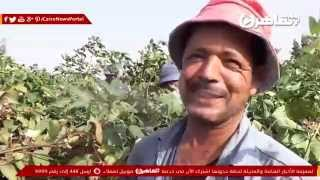 شاهد.. مزارعو القطن بكفر الشيخ: «الفلاح خسران خسران»
