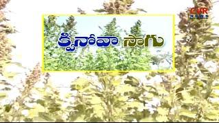 క్వినోవా సాగు l బెల్లంపల్లిలో సాగవుతున్న క్వినోవా l Full Details Of Quinoa Cultivation l Raithe Raju - CVRNEWSOFFICIAL