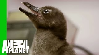 Baby Penguins at Mealtime - ANIMALPLANETTV