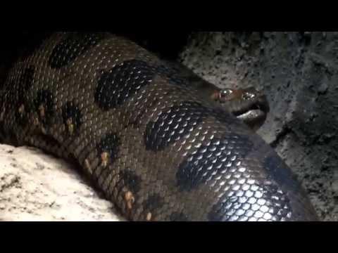 Green anaconda wriggles.蠢(うごめ)くオオアナコンダ。