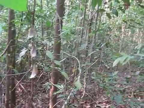 ป่ายาง วนเกษตร