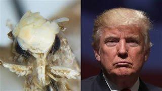 Trump's Hair Inspires Name for Moth - WSJDIGITALNETWORK