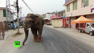 Trying to blend in? Elephant casually strolls through city in China - RUSSIATODAY