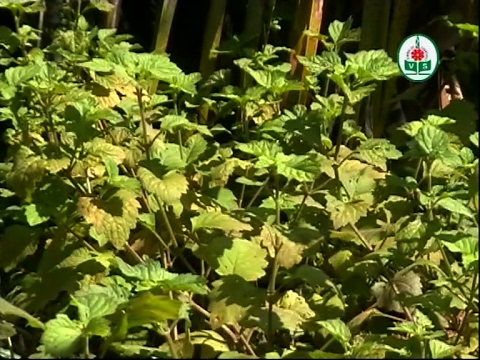Patchouli Cultivation (Kannada)
