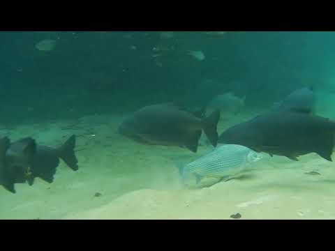 Pacu, Piaractus mesopotamicus, pescadores de imagem, Bonito, Mato Grosso do Sul, Turismo,