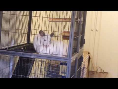 Chinchilla daughter and mom massage each other
