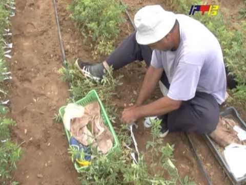 RTV Vranje   Poljoprivreda ruze 10 07 2013
