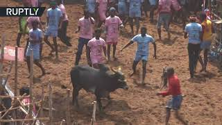 Jallikatu: Bull taming festival in Tamil Nadu, India - RUSSIATODAY