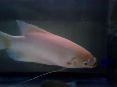 ปลาแรดเผือก ซูโม่2