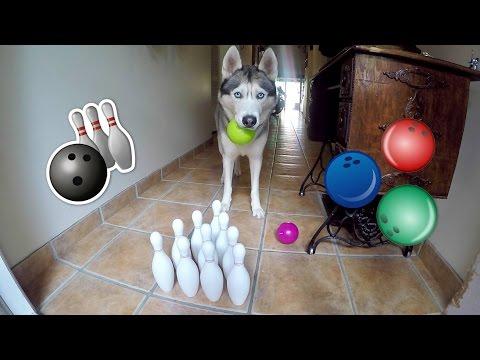 Husky Goes Bowling!