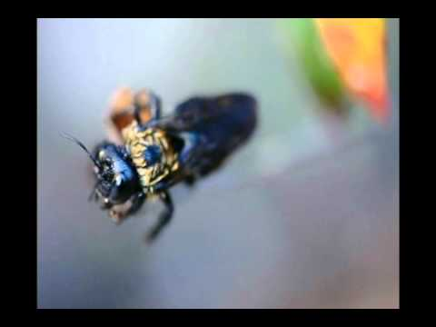 Carpenter Bee Infestation, wood boring bees, DIY extermination