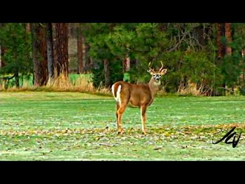 Young 2 Point Whitetail Buck