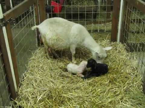 Pygora goat going through the actual birthing process