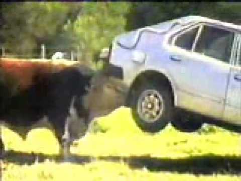 Býk co nesnáší auta:D