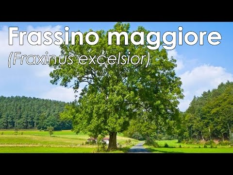 Frassino maggiore (Fraxinus excelsior)
