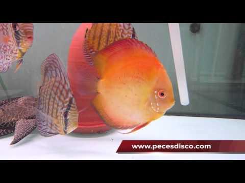 Peces disco Marlboro Macho 16 cm