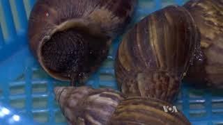 Happy Snails Produce More Slime for Thai Farmers - VOAVIDEO