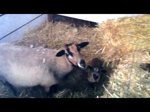 (1/18/2017) First New Lambs of 2017