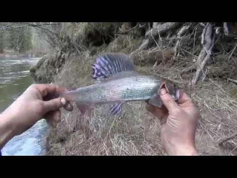 рыбалка на енисее весной черный хариус